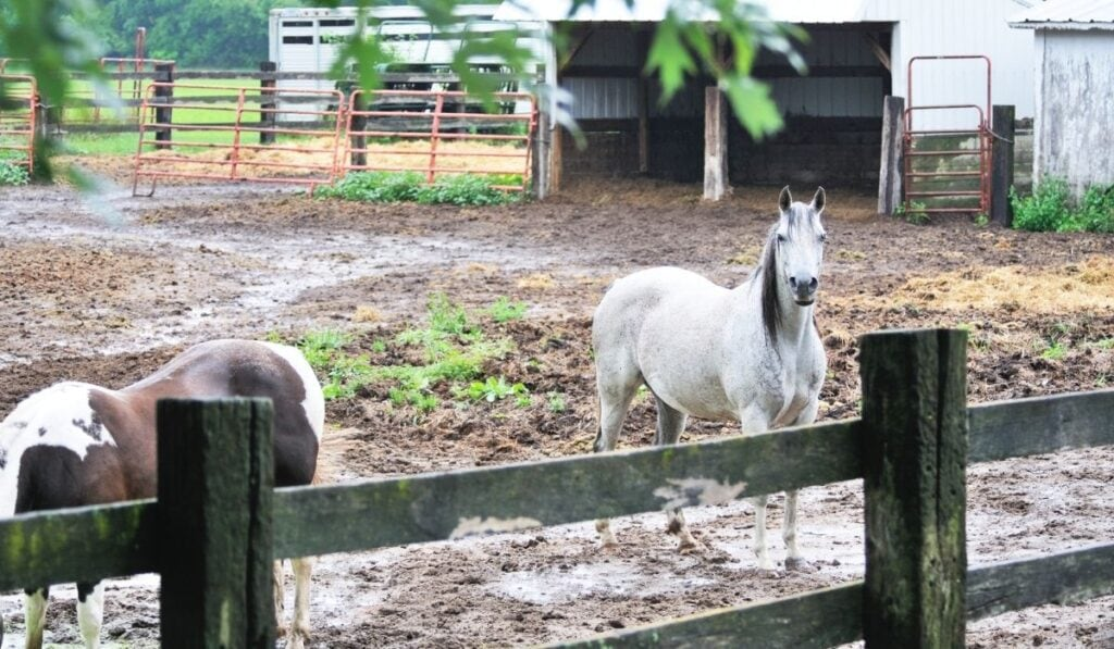 Horse standing in mud