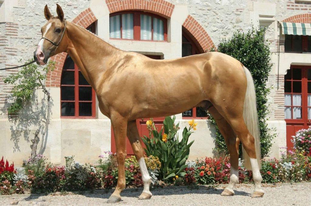 Golden Horses 9 Breeds With Amazing Shiny Gold Coats Helpful Horse Hints