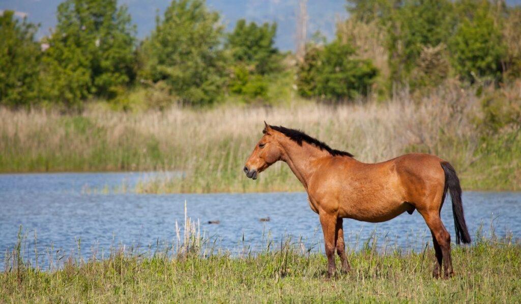 Japanese Draft Horse