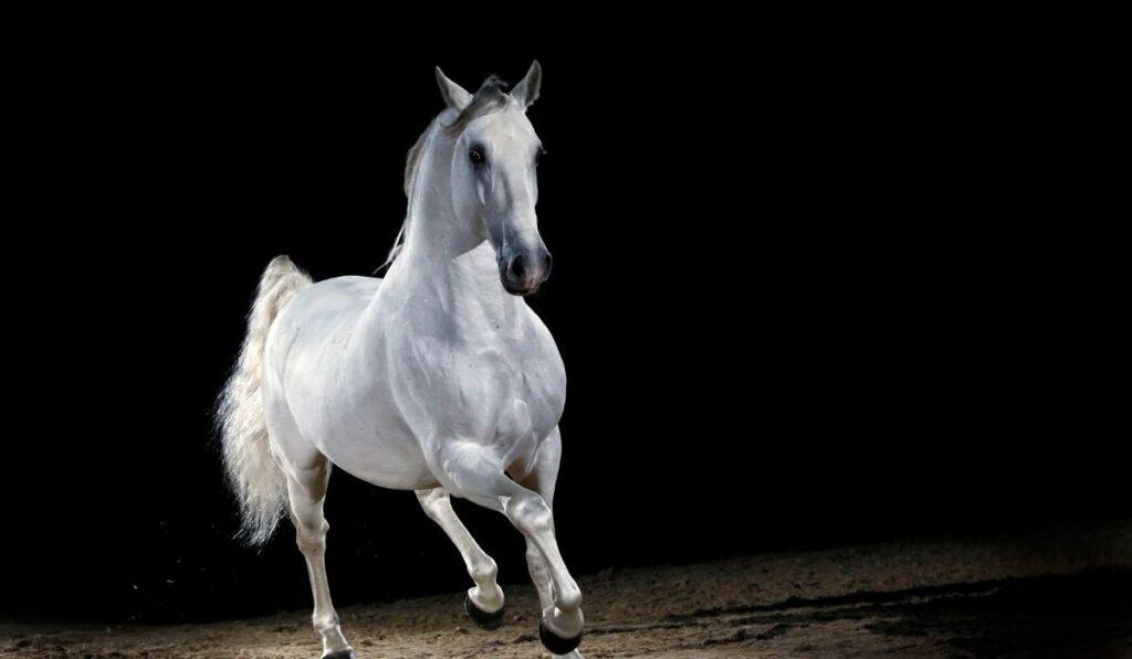 Lippizzaner Horse Trotting