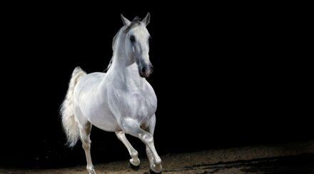 Lippizzaner-Horse-Trotting