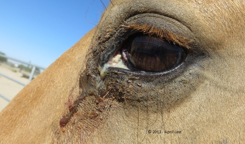 infection in horse eye
