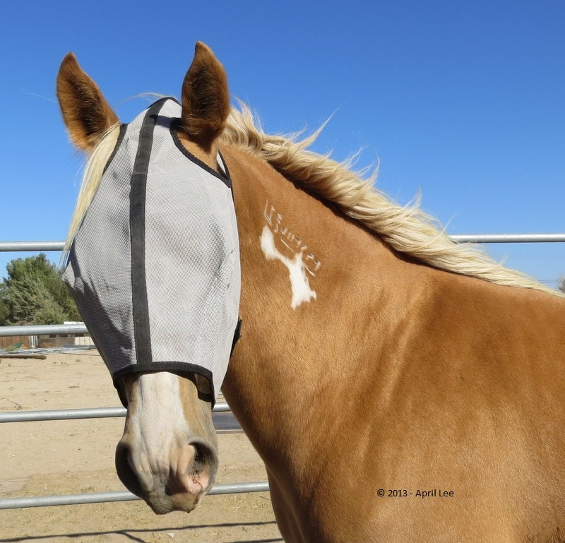 mustang horse with fly mask