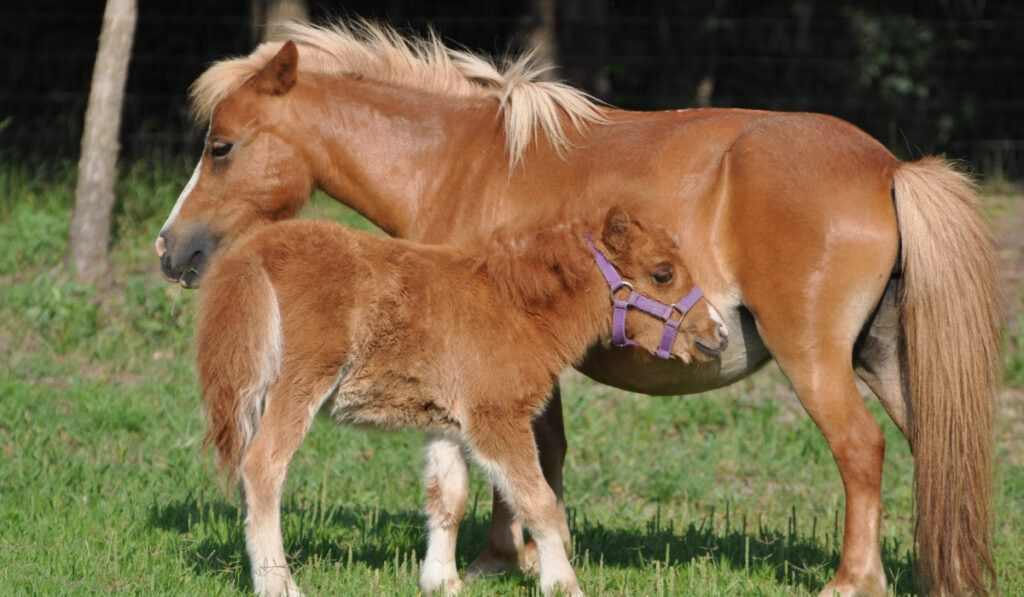 Miniature Horse with her colt