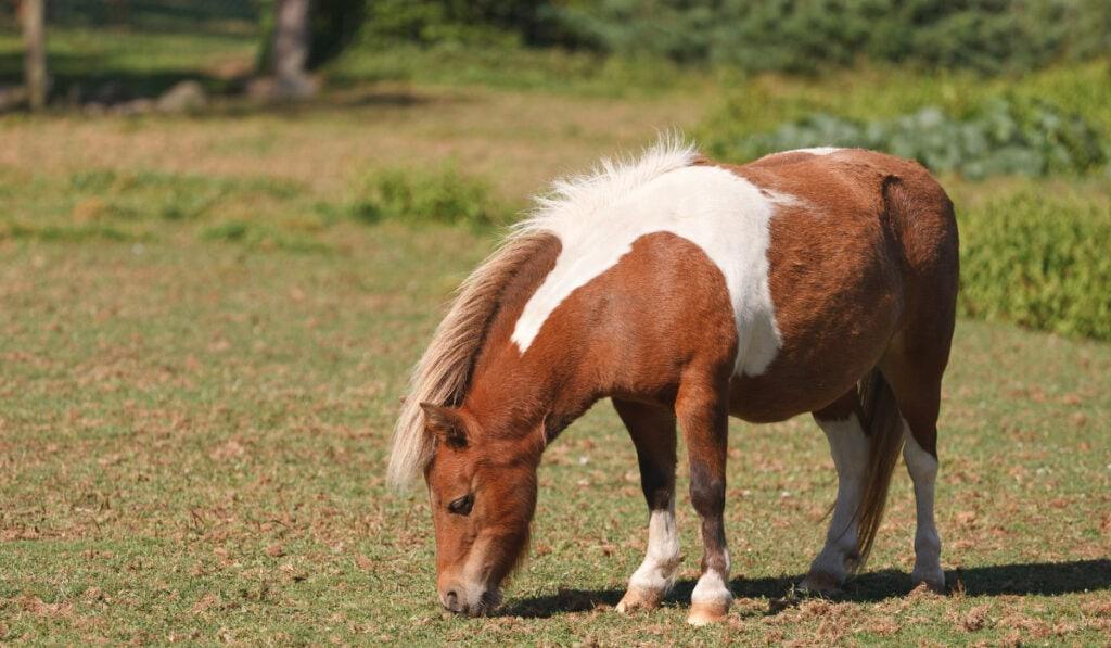 Miniature Horse eating grass