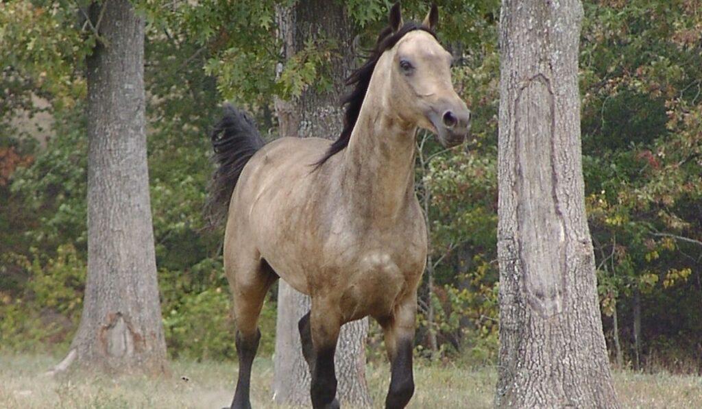 Missouri Fox Trotters Galloping