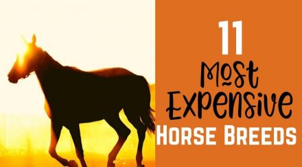 11 Most Expensive Horse Breeds (with Actual Prices)