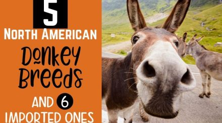 5 North American Donkey Breeds and 6 Imported Ones