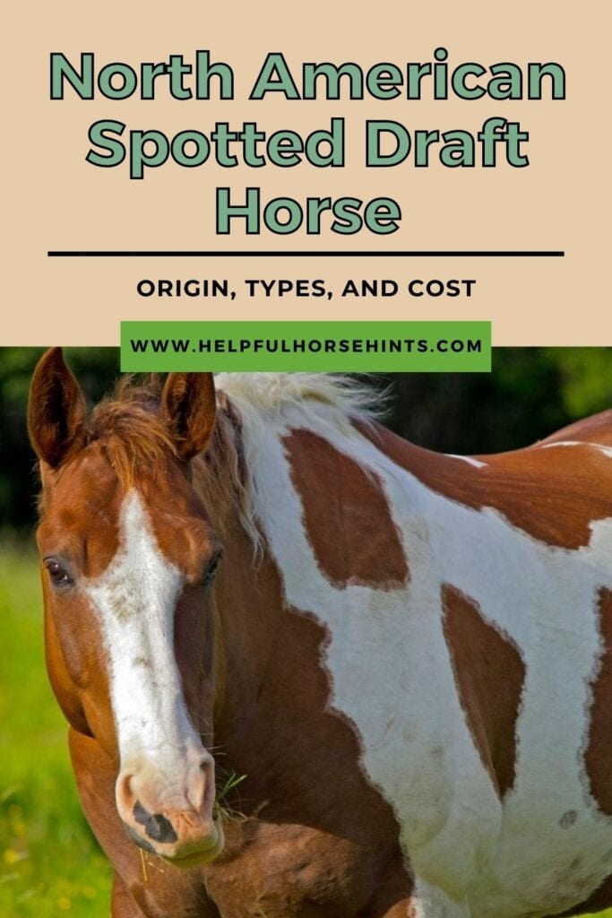 Pinterest pin - North American Spotted Draft Horse