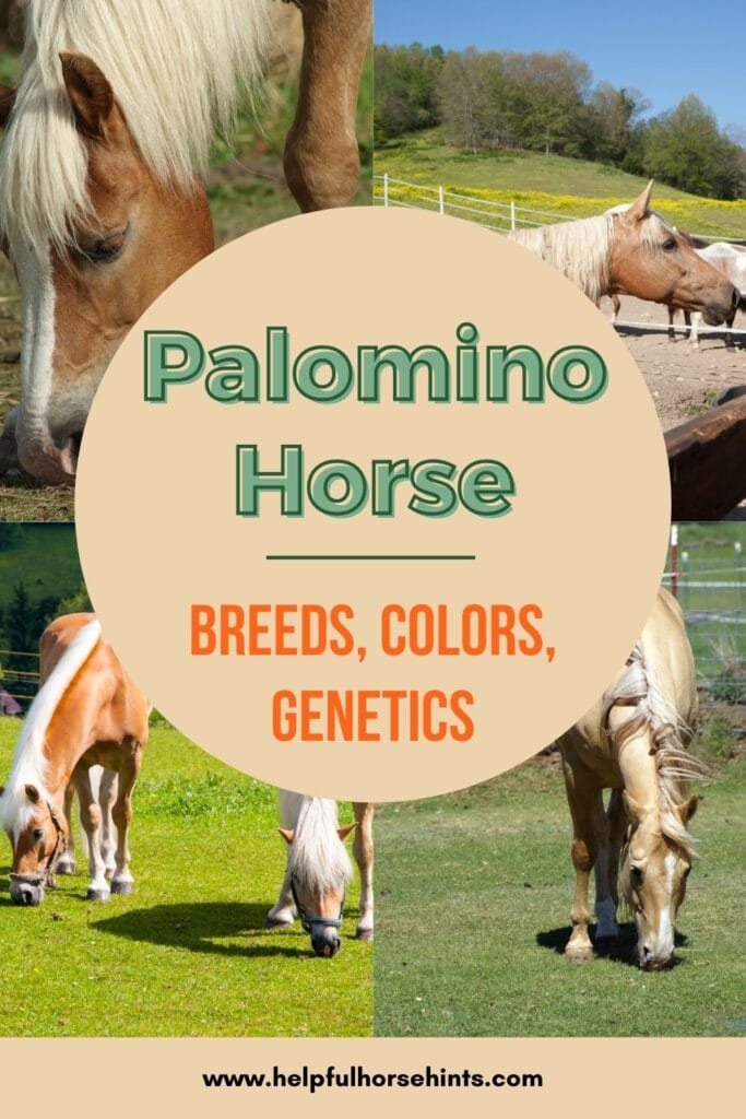 Palomino Horse Breeds Colors And Genetics Helpful Horse Hints