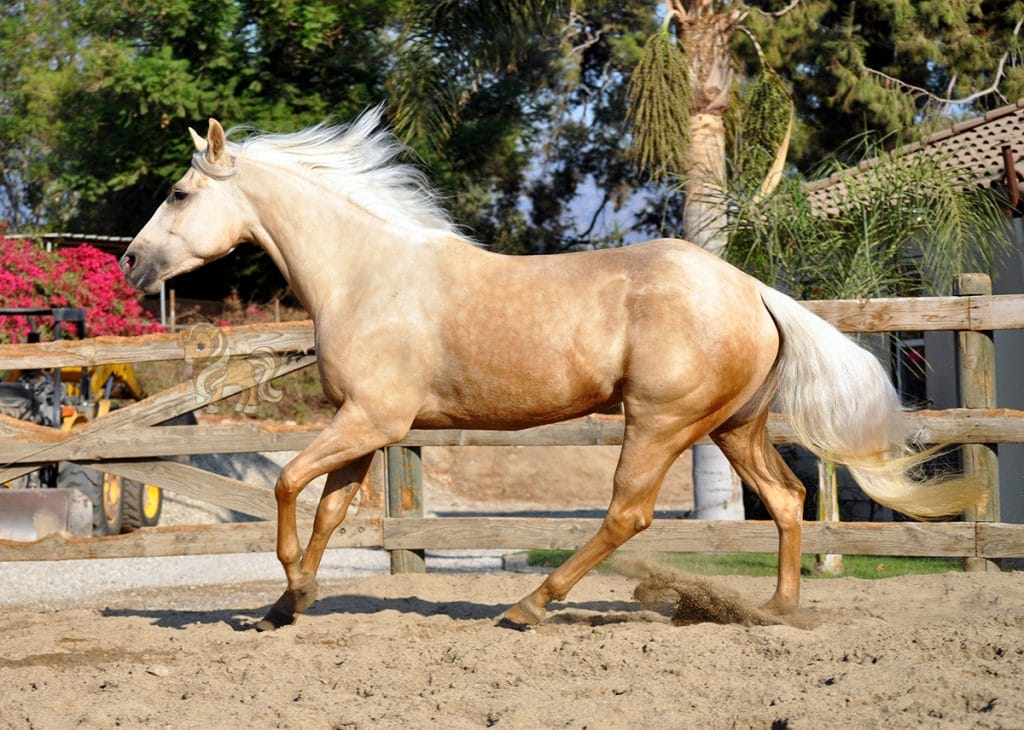 Quarter Horse Breed Profile With History And Pictures Helpful