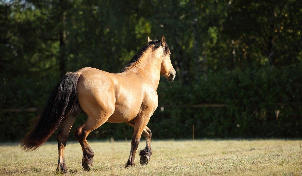 Paso fino Horse in the field