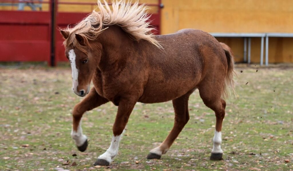 11 Stunning French Horse Breeds Helpful Horse Hints