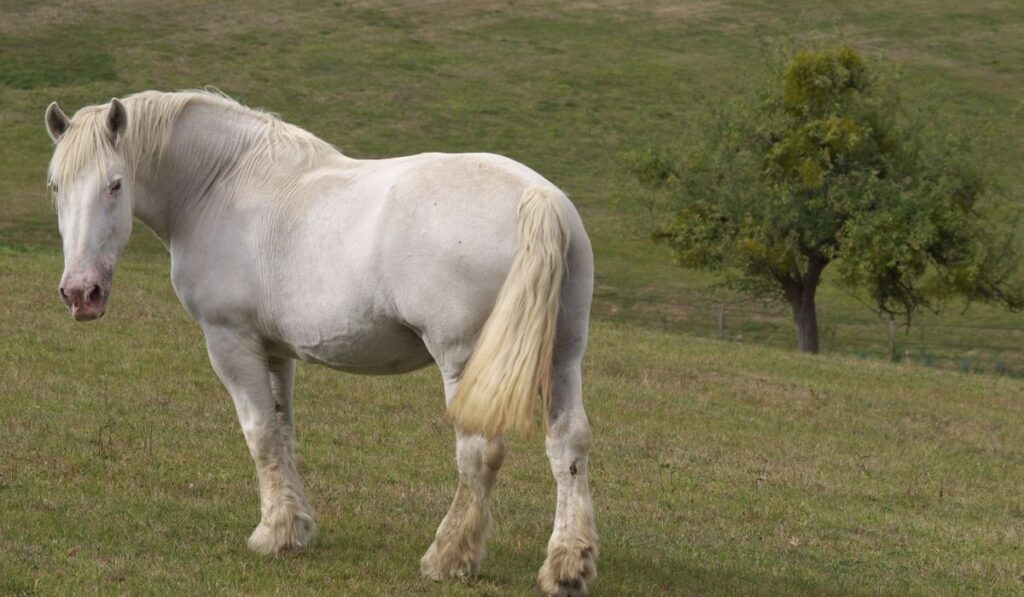 Percheron White Horse