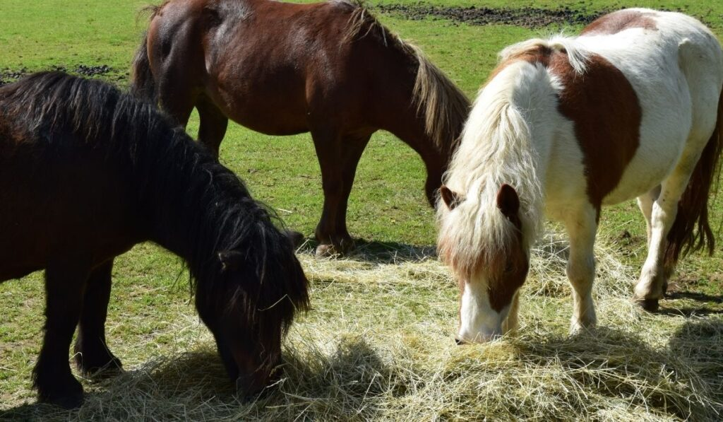 Ponies eating hay