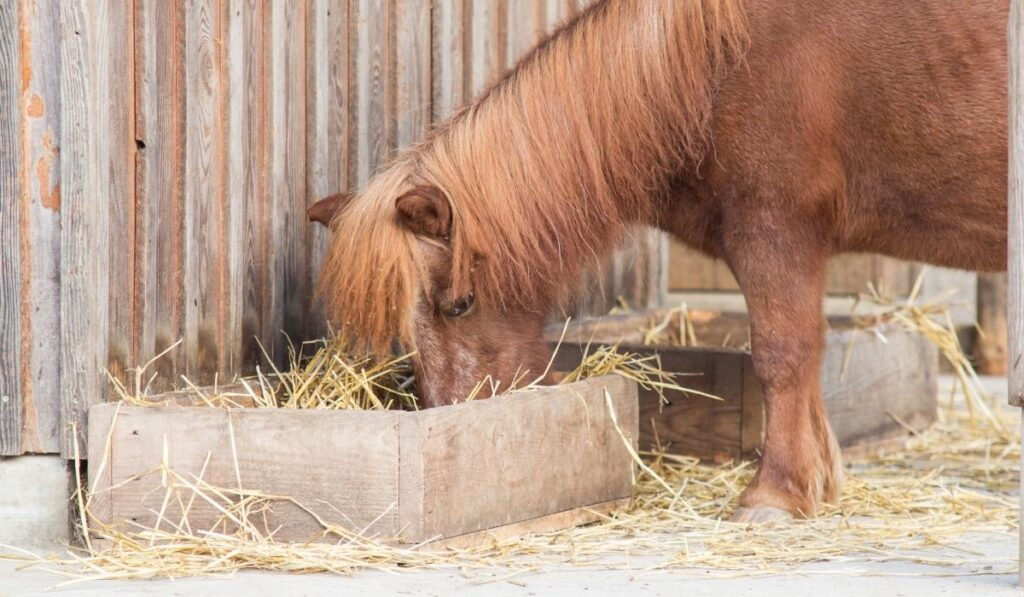 Pony eating Grass Hay
