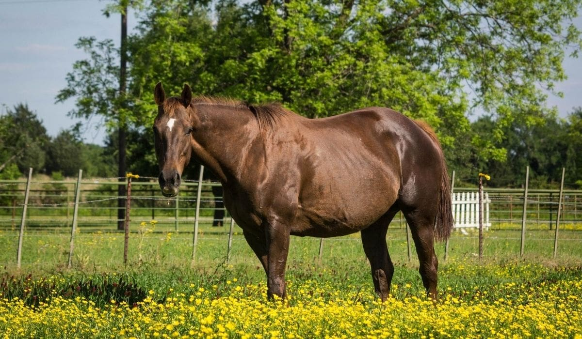 Pregnant Horse Belly Growing