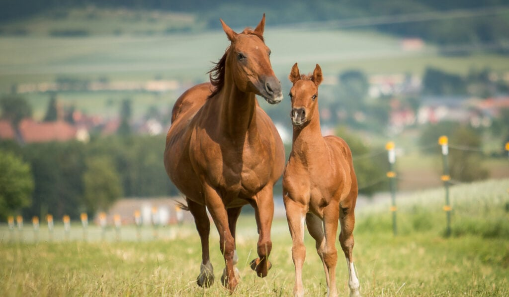 Quarter Horse running in the field