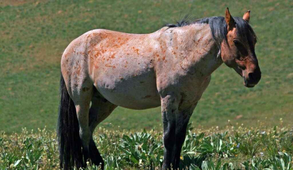 Red Dun Roan Horse