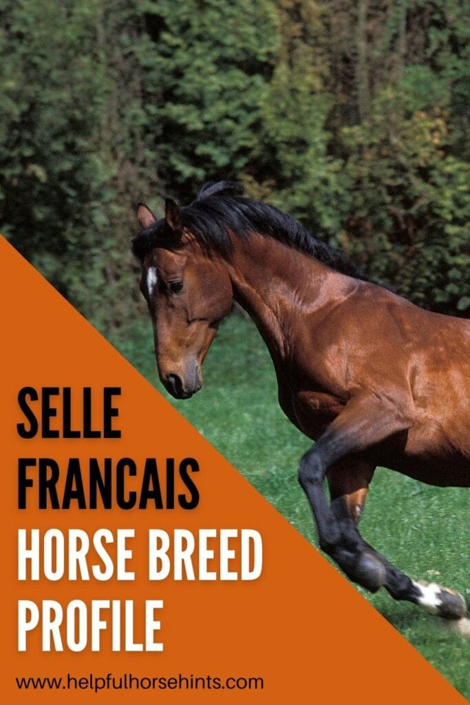 Pinterest pin - Selle Francais Horse