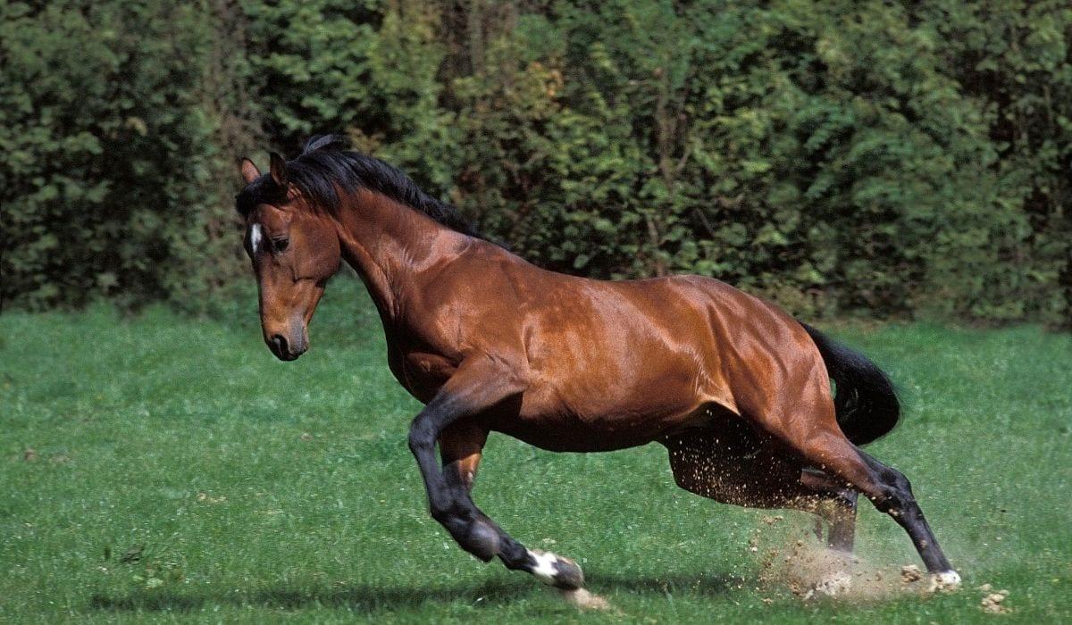 Selle Francais Horse Breed