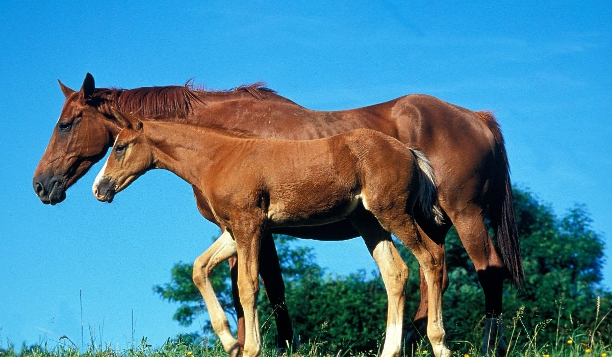 Selle Francais Horse with foal