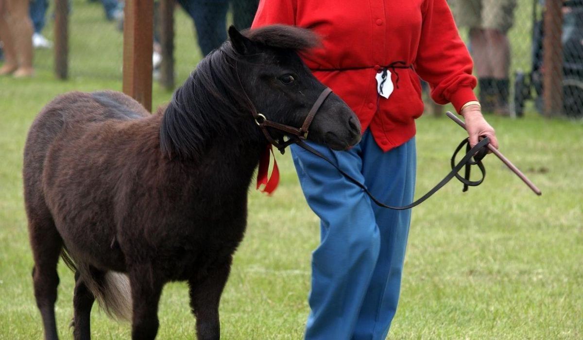 Shetland Ponies with leash