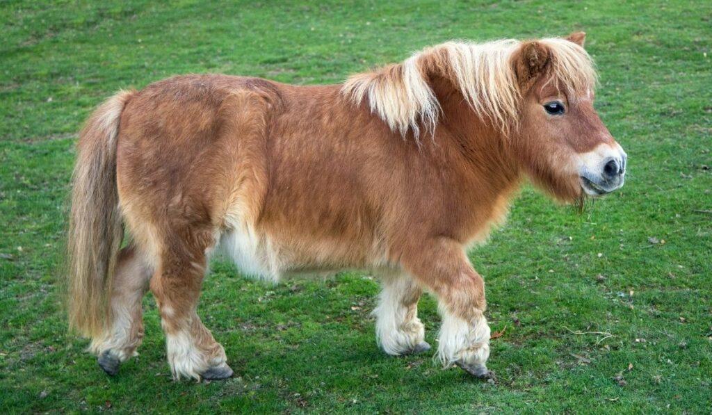 Shetland Pony in Grass Field