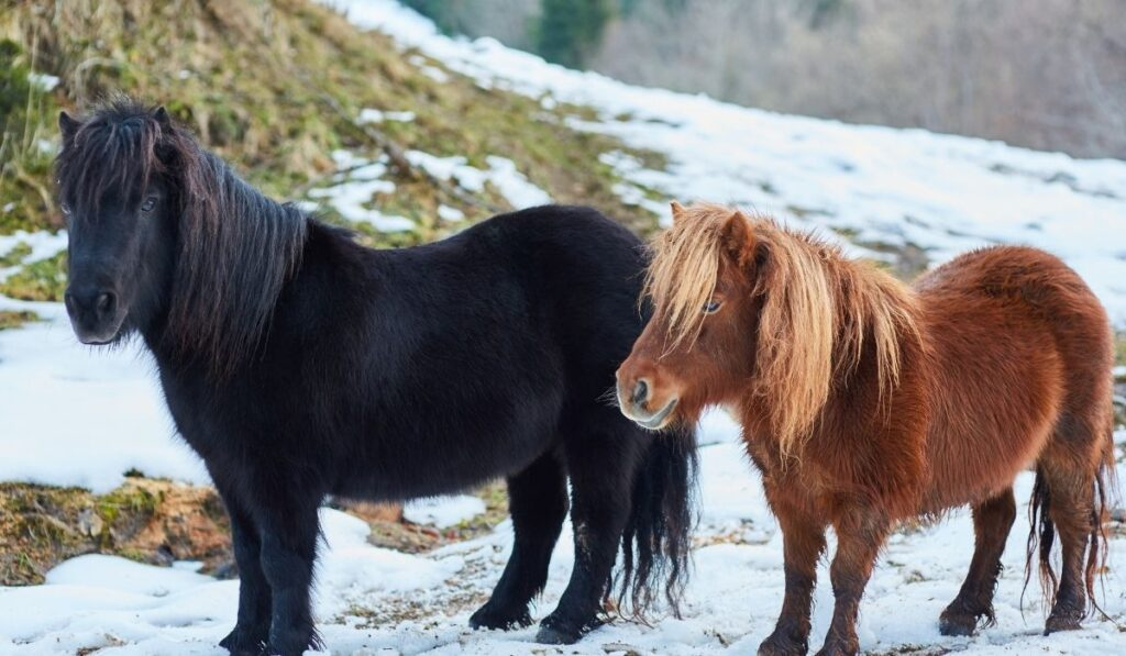 Shetland Pony in winter