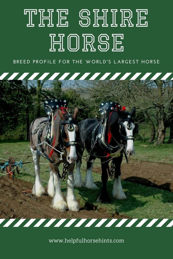 Pinterest pin - Breed Profile for the World's Largest Horse