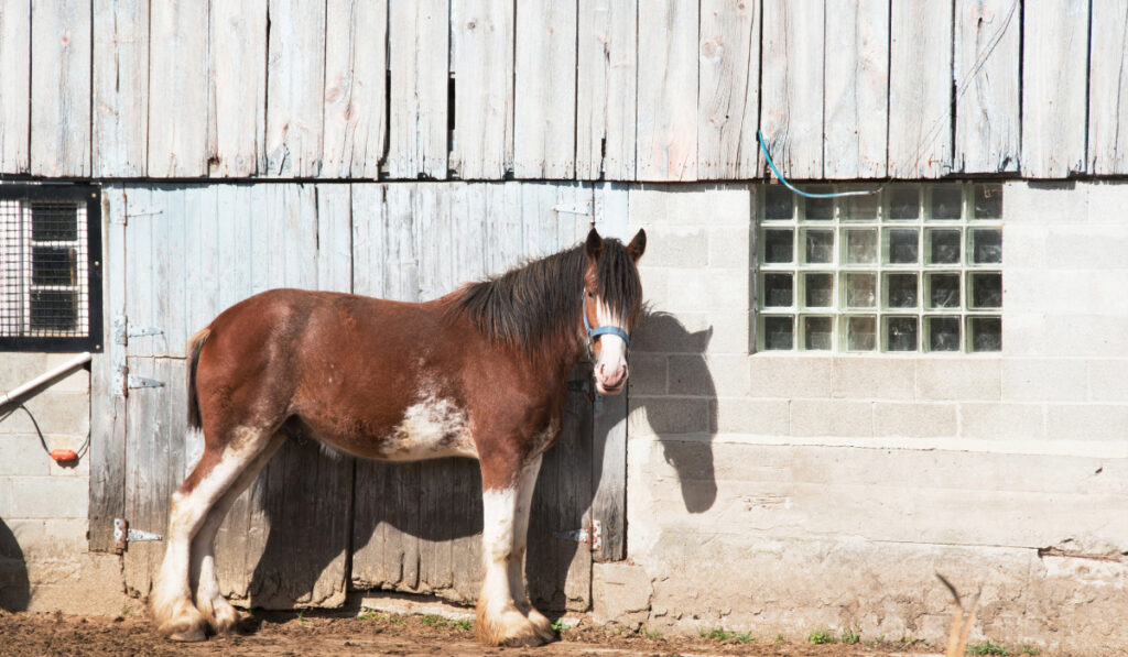 Spotted draft Horse standing near the ranch house.