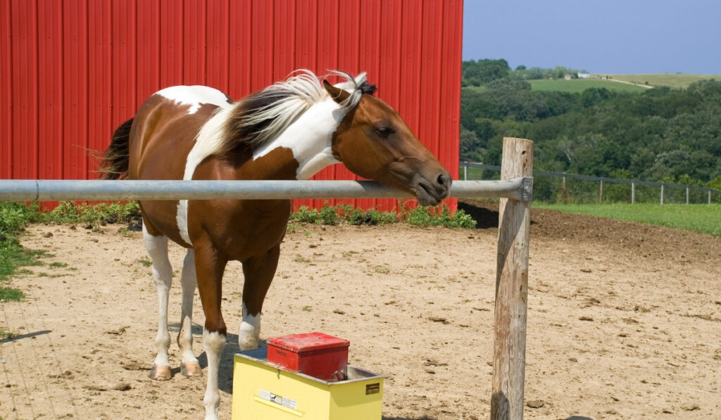 Spotted Saddle Horse laying its head on the rod with red background.