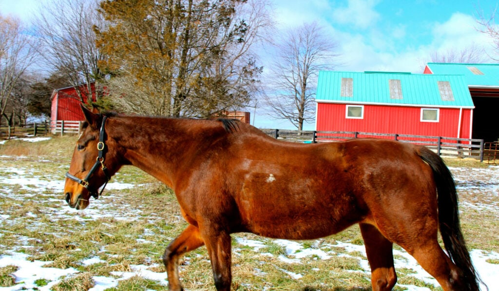 Standardbred walking in the pasture