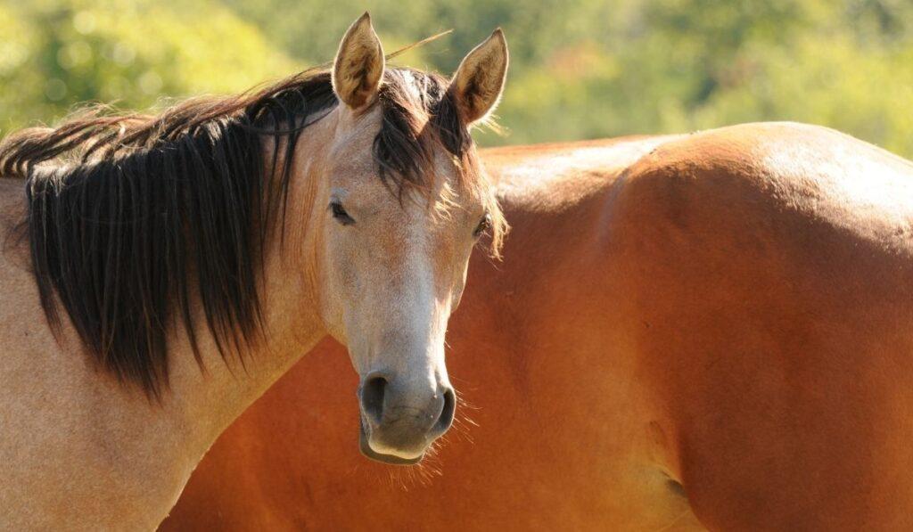 Strawberry Roan Horse