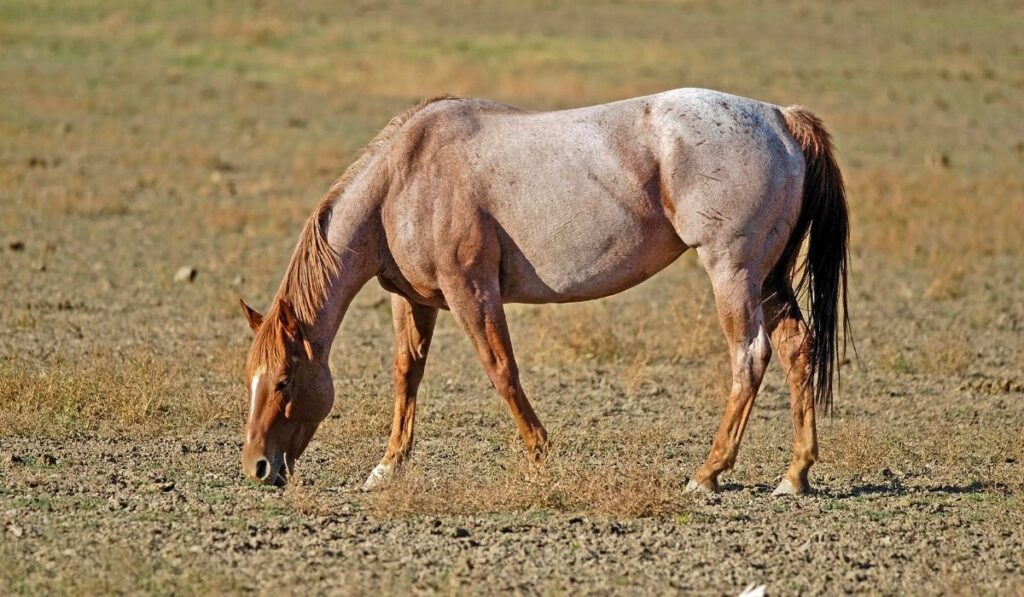 Strawberry Roan Horse In The Field Eating