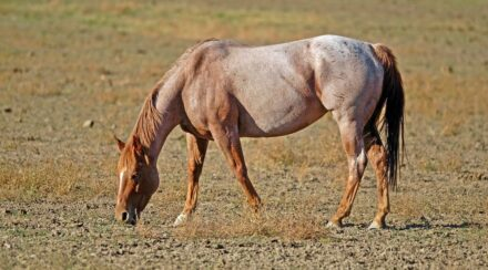 Strawberry Roan Horse