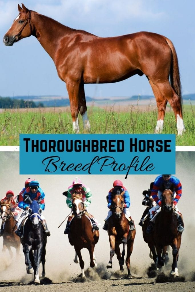 Equine Royalty: The Thoroughbred Horse - History, Characteristics