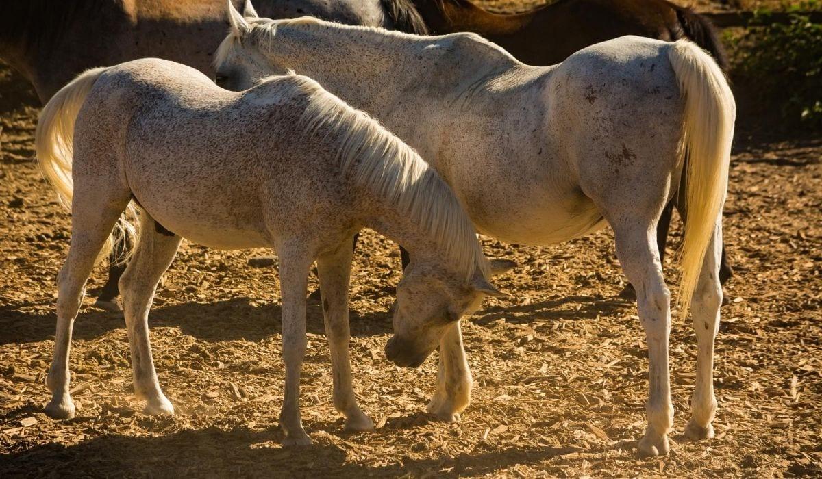 Two Horse Bitten Fleas