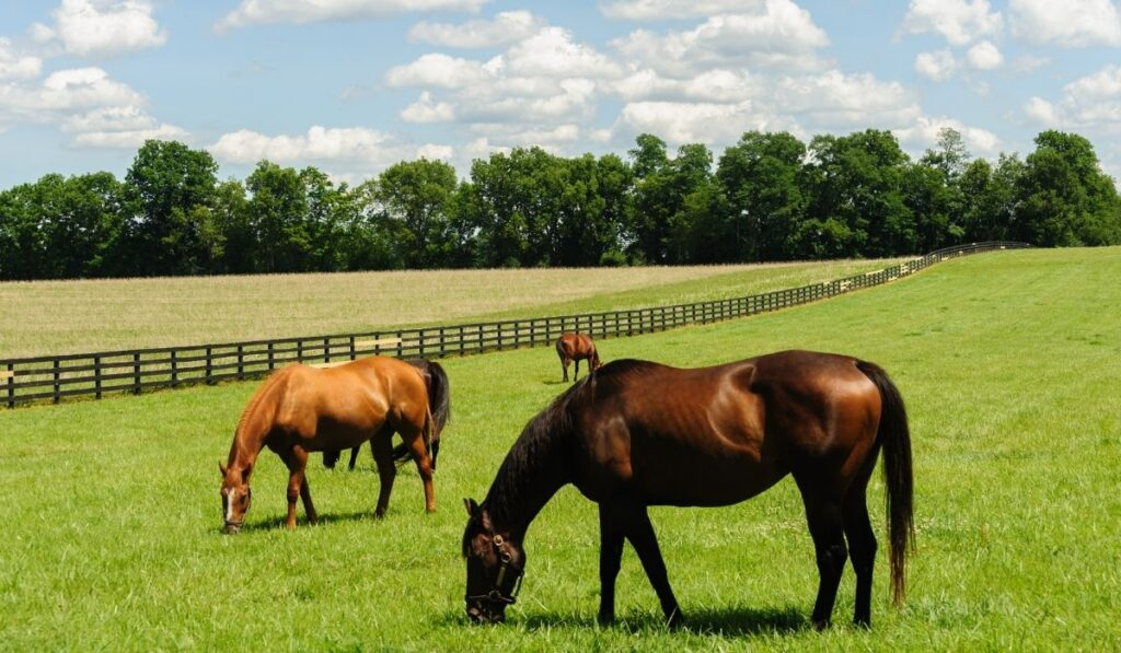 Two Thoroughbred Eating Grass in the field