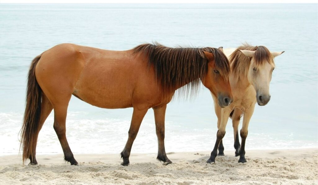 Two wild horse dun and buckskin colored at the beach