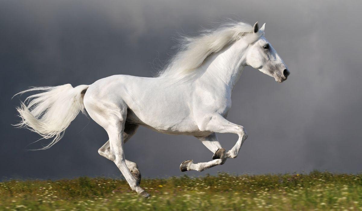 White-Horse-Running