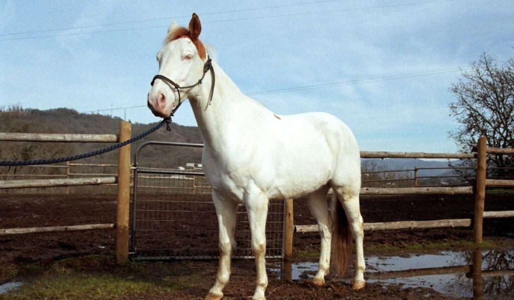 White Paint Horse