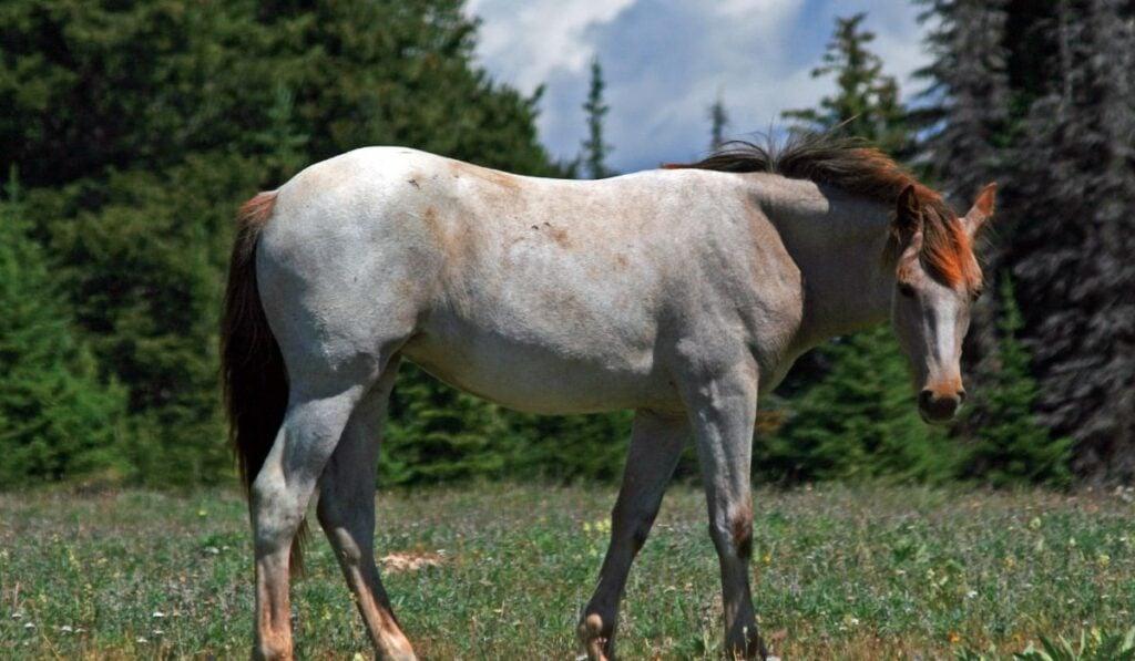Wild Horse Roan Mustang