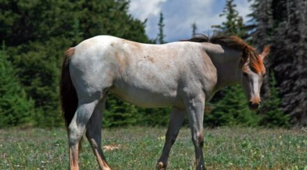Roan Horses – Colors, Genetics & Breeds