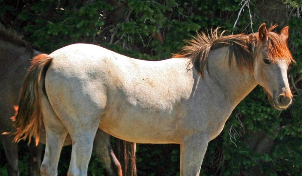 Wild Roan Horse