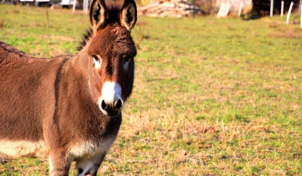 a brown donkey