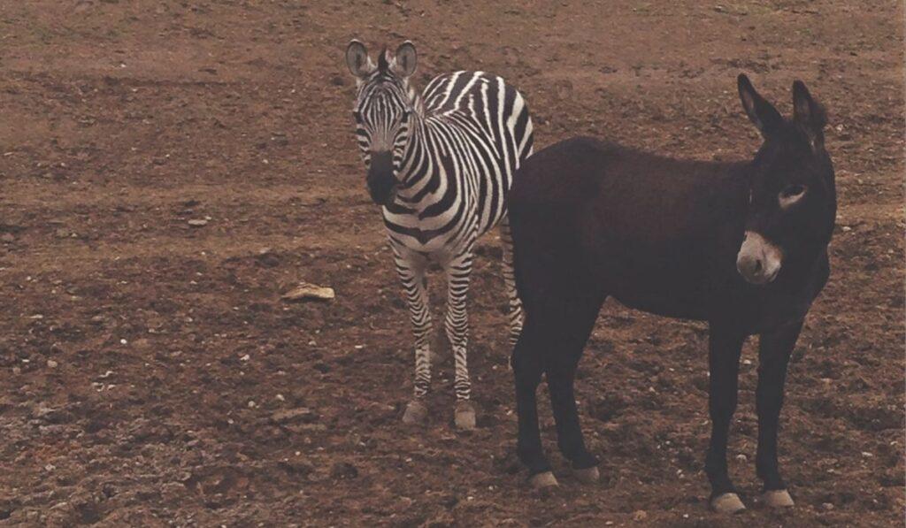 a donkey and a zebra