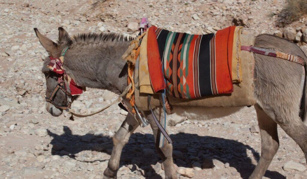 a saddled donkey