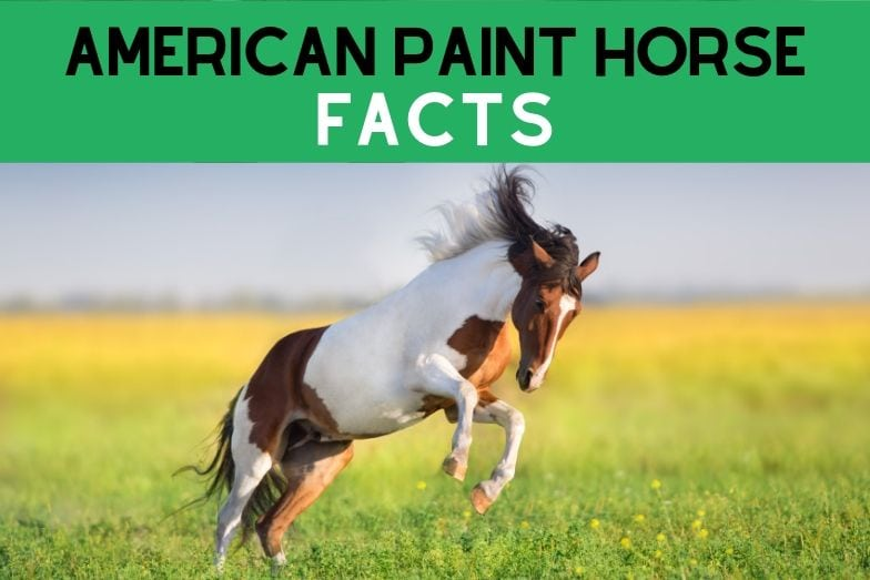 10 Fun Facts About the American Paint Horse