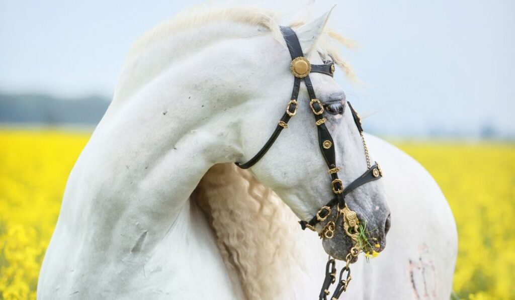 andalusian horse in field of flowers